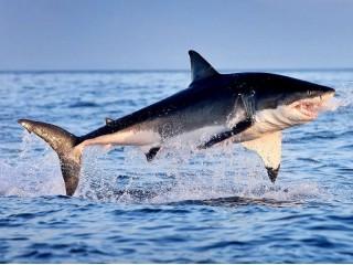 Правда ли, что акулы не чувствуют боль?